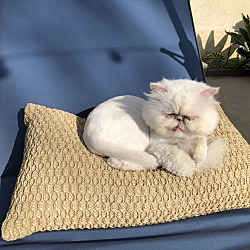 Persian Kittens for Sale in Los Angeles California