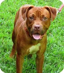 Bloomfield Ct Dogue De Bordeaux Meet Breakthrough A Pet For