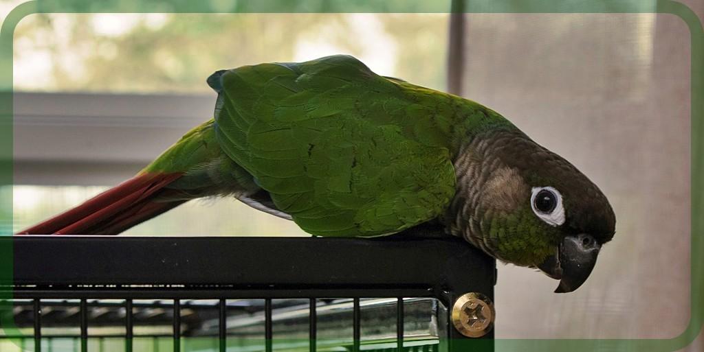 Tampa, FL - Conure  Meet Rainee a Pet for Adoption