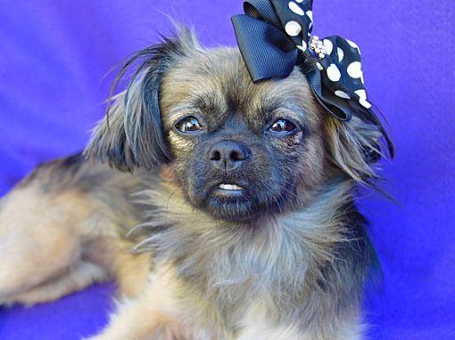 Irvine, CA - Pekingese  Meet Tory a Pet for Adoption