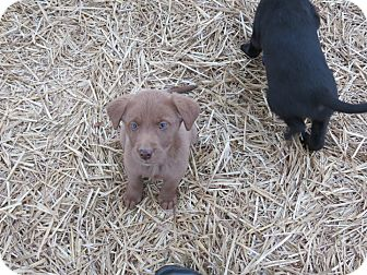 Williston Vt Labrador Retriever Meet Lab Mix Puppies A Pet For