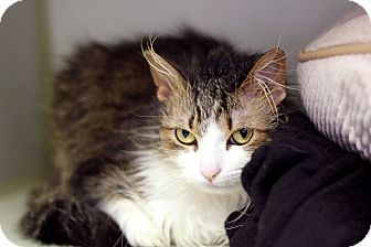 Chicago, IL - Domestic Longhair  Meet Centipede a Pet for