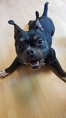 East Hartford Ct French Bulldog Meet Trinity In Ct A Pet For