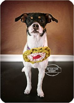 Rat Terrier Mix Dog for adoption in Huntsville, Missouri - Daisy