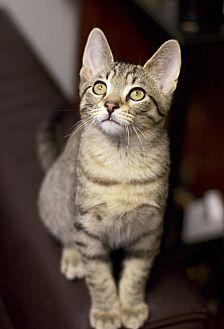 Adopt A Pet :: Mouchy  - Troy, MI