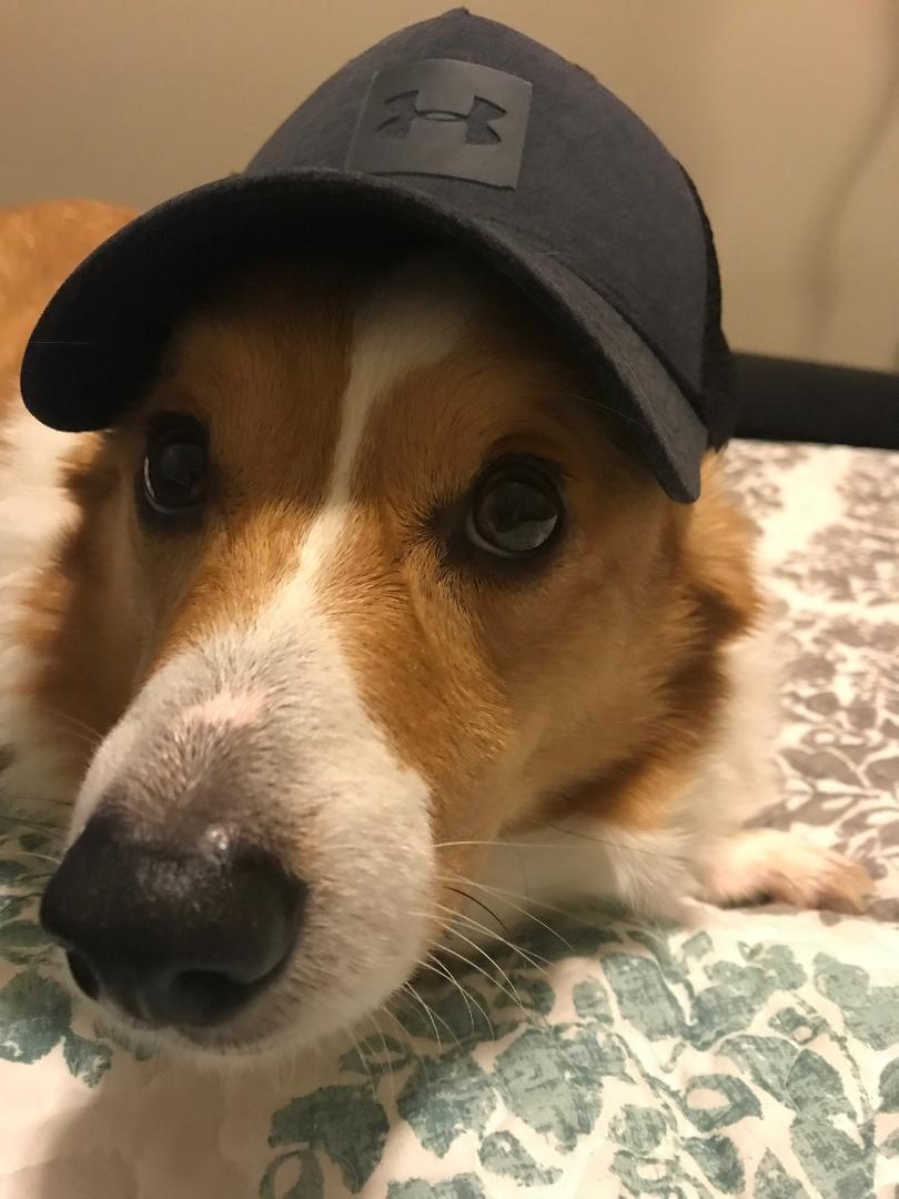Yakima, WA - Corgi  Meet Baxter a Pet for Adoption