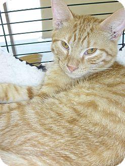 Domestic Shorthair Kitten for adoption in Fairborn, Ohio - Copper