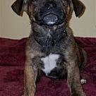 Adopt A Pet :: Barney Pup