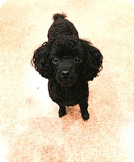 Buffalo, NY - Poodle (Toy or Tea Cup)  Meet Henry: Teacup