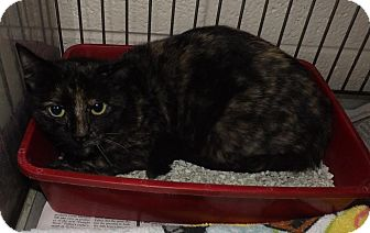 Domestic Shorthair Cat for adoption in Henderson, North Carolina - Tilly