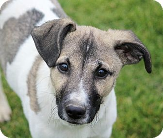 Jack Russell Terrier/Beagle Mix Puppy for adoption in Liberty Center, Ohio - Bruno