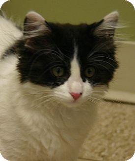 Domestic Longhair Kitten for adoption in Hastings, Nebraska - Firecracker