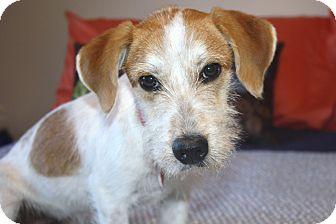 Los Angeles, CA - Fox Terrier (Wirehaired). Meet Cavanaugh a Dog ...