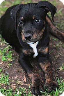 Doberman and pitbull mix