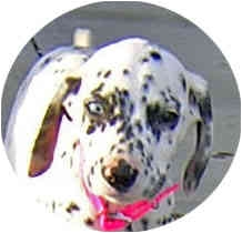 Dalmatian Puppy for adoption in Mandeville Canyon, California - Emmy II