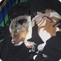 Adopt A Pet :: Aussie puppies - Minneapolis, MN