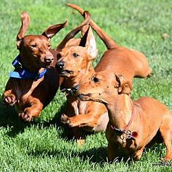 Puppies for Sale in Spokane Washington - Adoptapet com