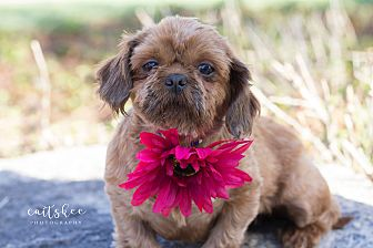 Sasha Female Shih Tzu Ohio Louies Legacy Animal Rescue