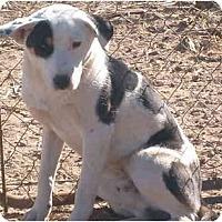 Adopt A Pet :: Petey - Anton, TX