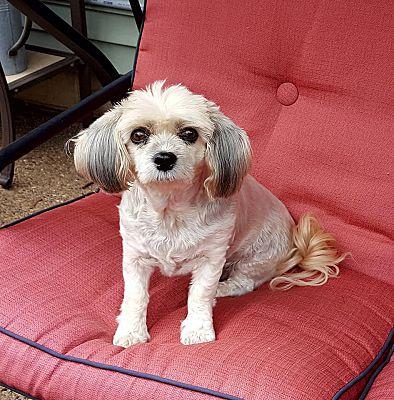 Rochester Mn Shih Tzu Meet Abby A Pet For Adoption