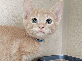 Adopt A Pet :: Sapphy  - Laramie, WY