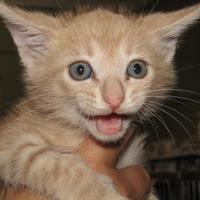 Adopt A Pet :: Ronald - West Memphis, AR
