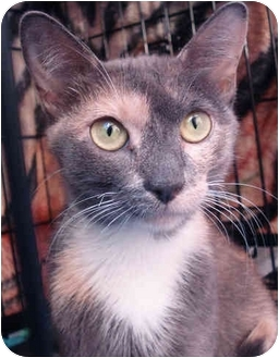 Domestic Shorthair Cat for adoption in Brooklyn, New York - Nora