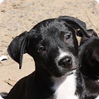 Adopt A Pet :: Bart-PENDING - Marion, AR