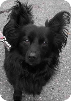 North Vancouver Bc Papillon Meet Archie Adopted A Pet