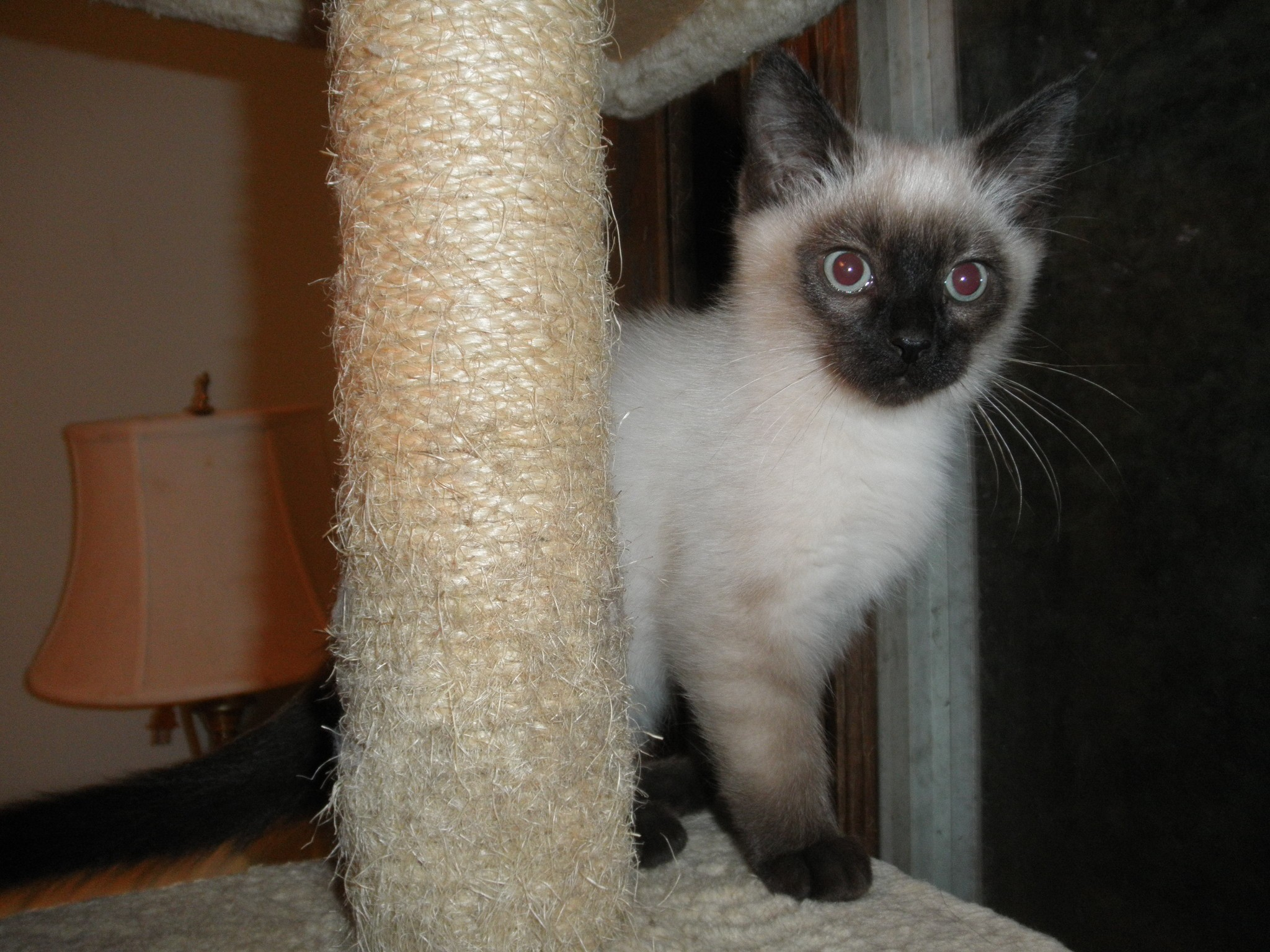 Milwaukee, WI - Siamese. Meet Siam a Cat for Adoption.