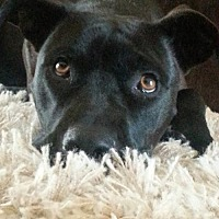American Staffordshire Terrier/Labrador Retriever Mix Dog for adoption in San Diego, California - Brandy