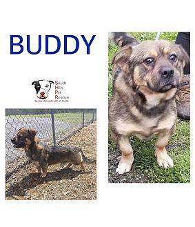 Adopt A Pet :: Buddy  - South Park, PA