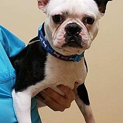 Iona~ American Boston Terrier Rescue