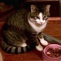 Adopt A Pet :: Office Kitty - Chattanooga, TN