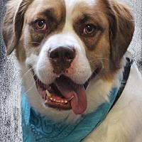 Boxer Puppies for Sale in Goshen Indiana - Adoptapet com