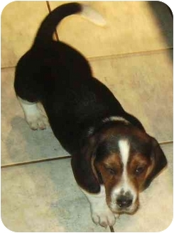 Beagle/Basset Hound Mix Puppy for adoption in Coudersport, Pennsylvania - BILLY BOB