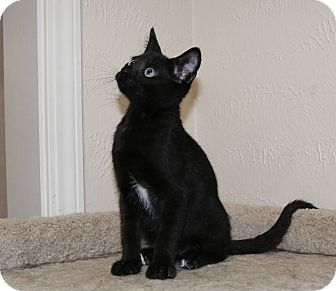 Domestic Shorthair Kitten for adoption in Edmond, Oklahoma - Ricky