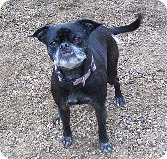 fennville mi pug meet ellie a dog for adoption