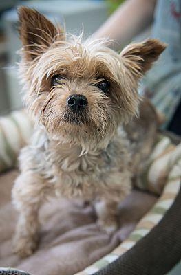 New York, NY - Yorkie, Yorkshire Terrier  Meet Rosie a Pet