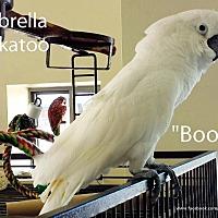Adopt A Pet :: Boomer - Villa Park, IL