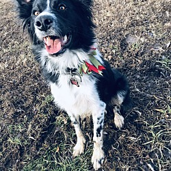 Louisville, KY - Border Collie  Meet Hoss a Pet for Adoption