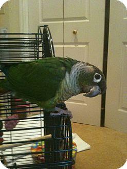 "Conure for adoption in Punta Gorda, Florida - Birdsie (""Z"")"