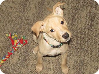 Chihuahua Mix Puppy for adoption in Grand Rapids, Michigan - Taffy