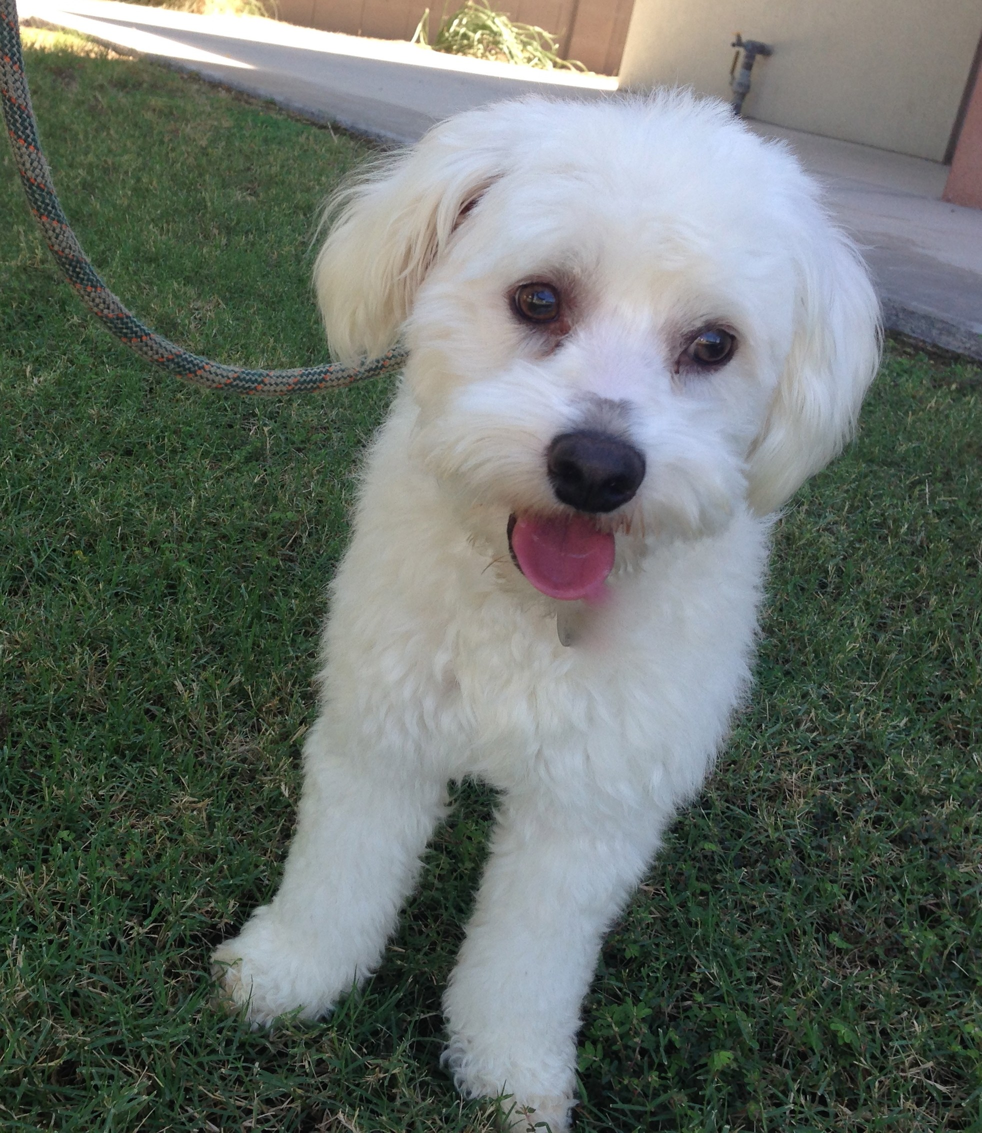 Scottsdale Az Bichon Frise Meet Binky A Pet For Adoption