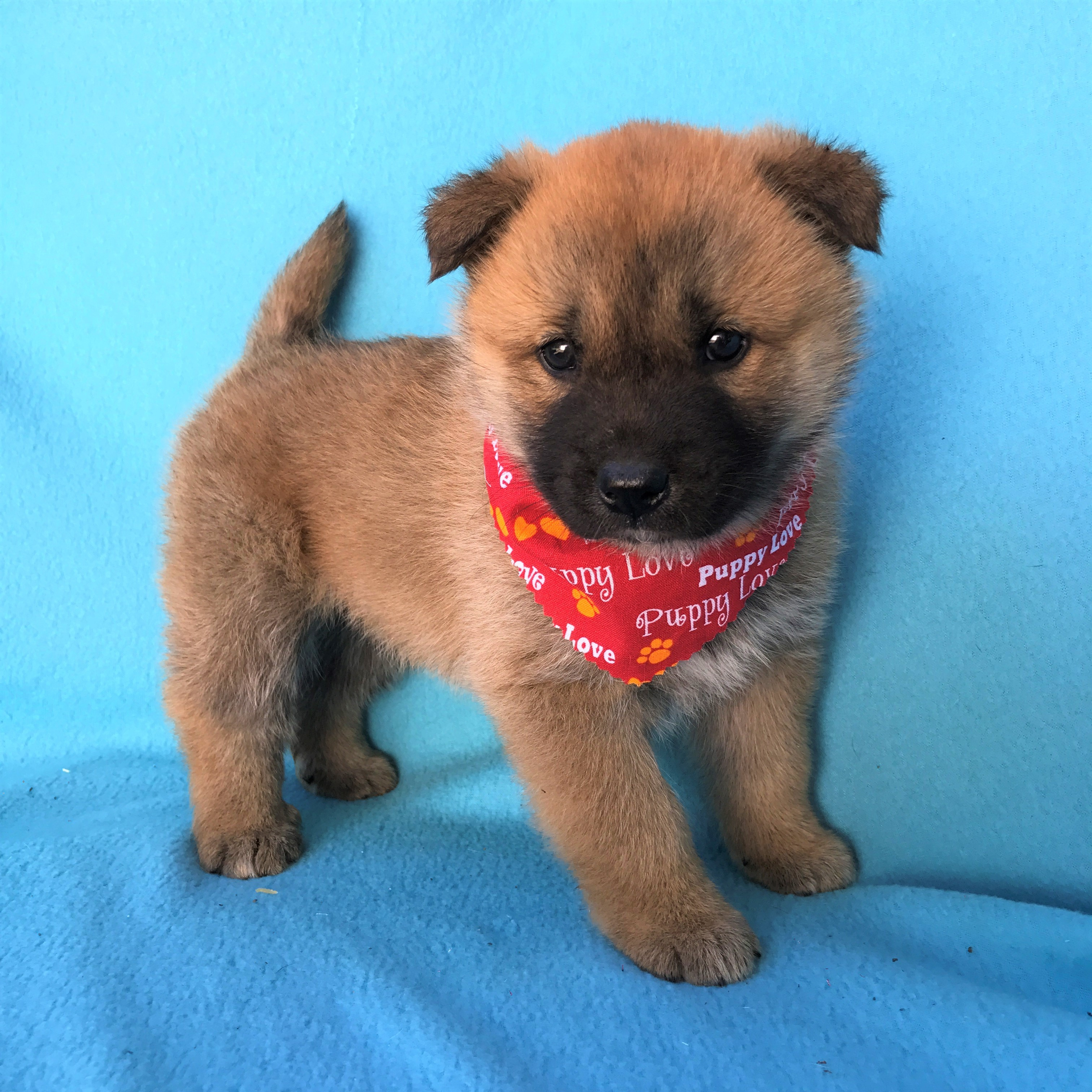 Burbank Ca Jindo Meet Hachiko 981 020 019 772 990 A Pet For Adoption