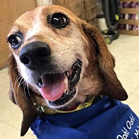 Beagle Mix Dog for adoption in Fairfax, Virginia - Cathy *Adopt or Foster*