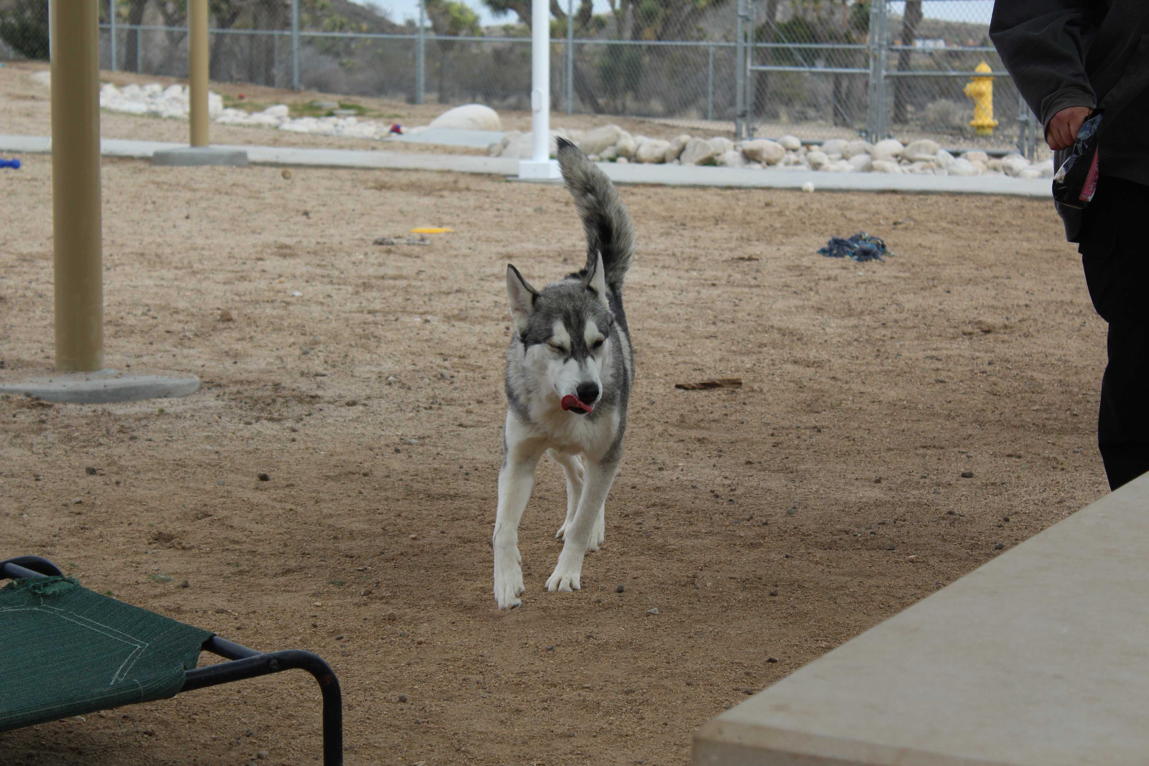 Husky puppies for sale yucca valley - Yucca Valley Ca Husky Meet Flora Fauna Merryweather A Dog For Adoption