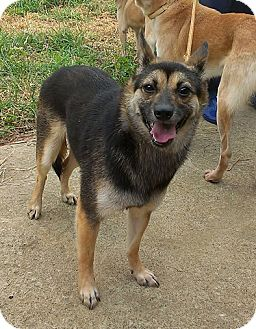 Irvine Ca German Shepherd Dog Meet Sasha A Pet For Adoption