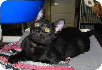 Domestic Shorthair Kitten for adoption in Charlotte, North Carolina - Gunner