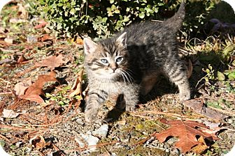 American Shorthair Kitten for adoption in Hagerstown, Maryland - Boo Boo